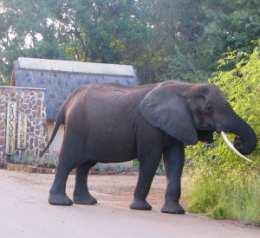 Elephant at Crocodile Bridge entrance, Kruger National Park