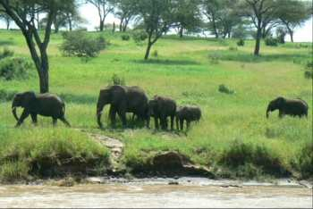 Elephant herd Tarangire