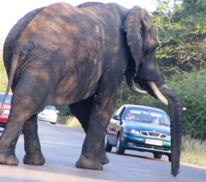 Elephant in the road