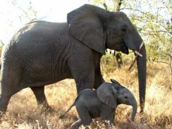 Mother and baby elephant at Edeni