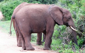 Elephants browsing in Addo Elephant National Park
