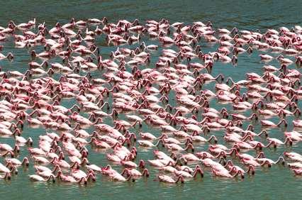 Flamingo flock at Nogorongor Crater