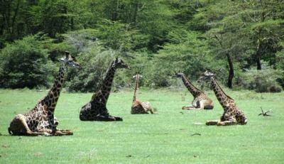 Giraffes - ©Kenneth Bryant