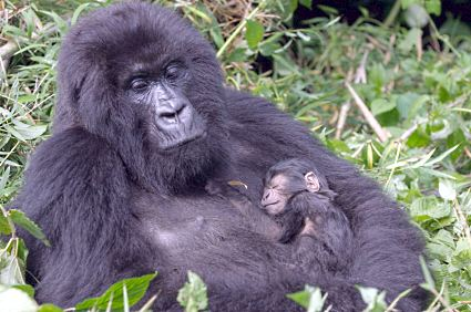Gorilla mom with baby