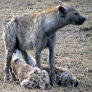 Hyena cubs drinking