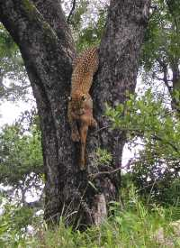 Leopard with prey, Londolozi