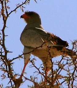 Pale Chanting Goshawks often indicate Badgers nearby