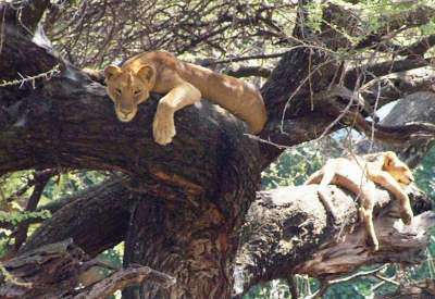 Lazy lionesses in a tree