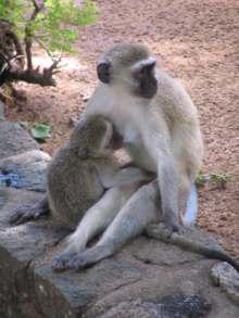 Vervet monkey picture