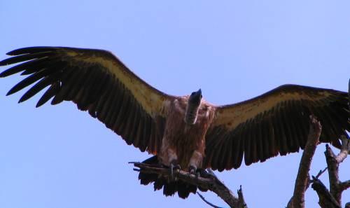 Vulture wingspan