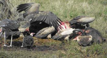 Vultures - ©Kenneth Bryant