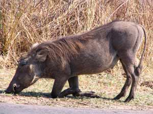 The warthog on the right side of the road, unaware of a stalking leopard on the left side of the road.