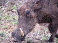Warthog picture