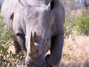 This rhino kept coming closer and closer until eventually it crossed the road in front of our car.