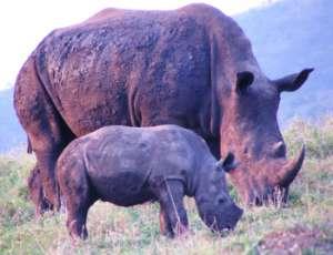 White rhino mum and calf