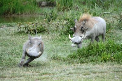 Warthog chase