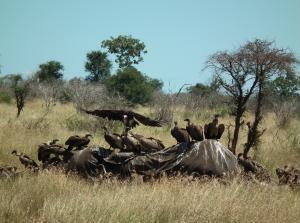 Vultures on elephant carcass