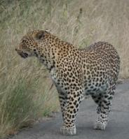 Leopard in the road!