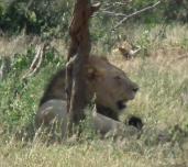 Finally, a lion in Hluhluwe-Imfolozi