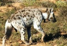 Hyena in Addo