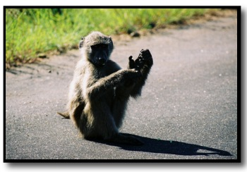 baboon picture