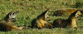 Bat Eared Foxes