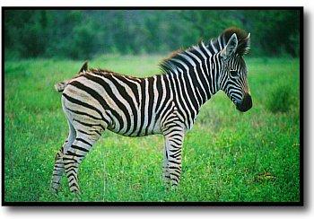 zebra pictures