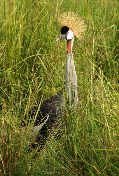 Crowned crane ©Erin Lubeck