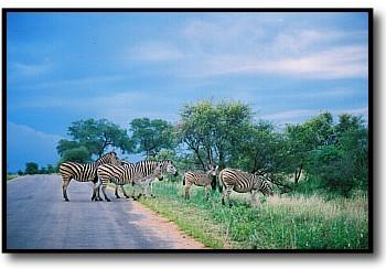 zebra photos