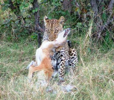 Leopard killing a jackal
