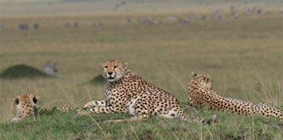 Three cheetah brothers