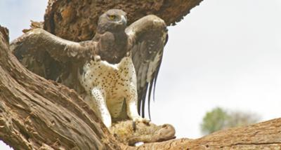 Martial Eagle with Mongoose Lunch