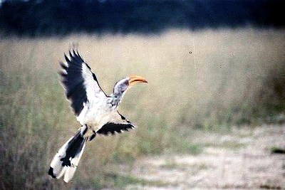 Flying Hornbill in Botswana