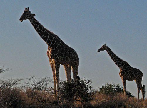 Carbon Copy Giraffe