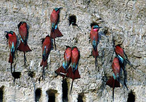 Carmine Bee Eater Colony