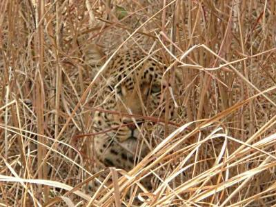 Leopard Blending In