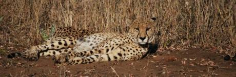 Cheetah at Mkuze Falls