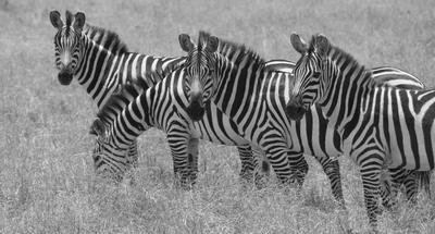 Hundreds of zebras everywhere.