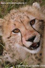 Cheetah Babette
