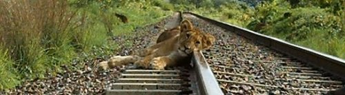 Lion cub on tracks