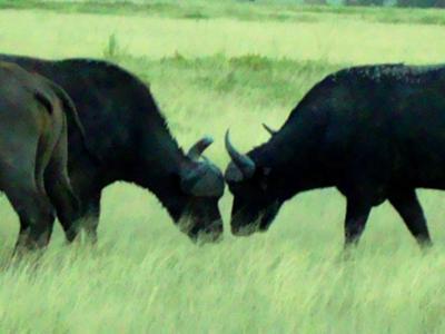 Buffalo fight in Amboseli National Park