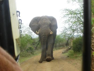 <font face=verdana size=1><i>Elephant bull in musth</i></font>