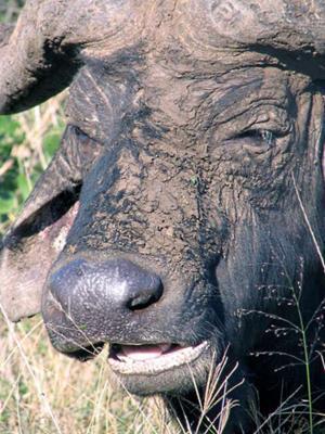 Buffalo Mudpack