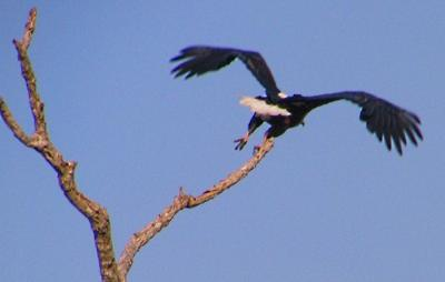 Fish Eagle Takes Flight
