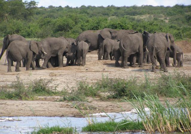 Elephants in Queen Elizabeth