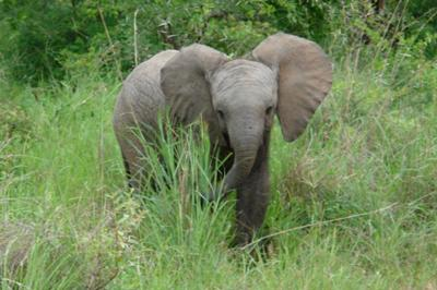 Young elephant in the lush green bush