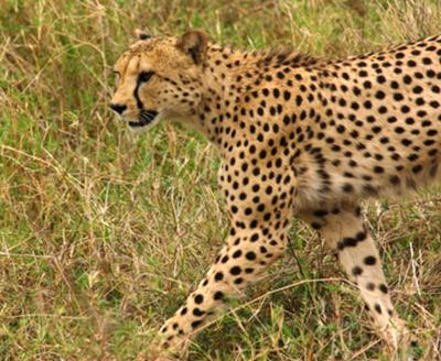 Cheetah on a mission
