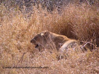 We saw numerous lions