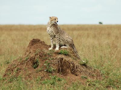 Cheetah Scanning the Horizon