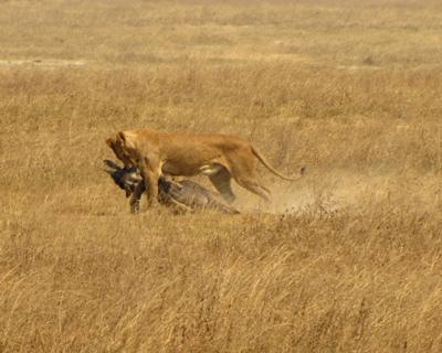 Lion with Wildebeest Kill, Ngorongoro